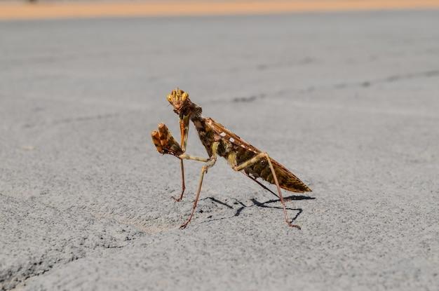 Beautiful shot of praying mantis in a concrete road Free Photo