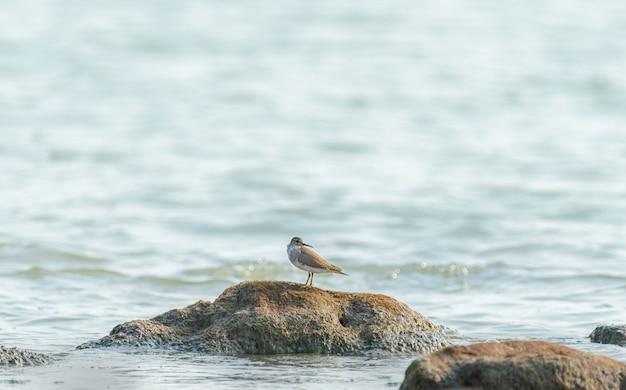 Bellissimo scatto di un uccello del piovanello sulla roccia nell'oceano in india Foto Gratuite