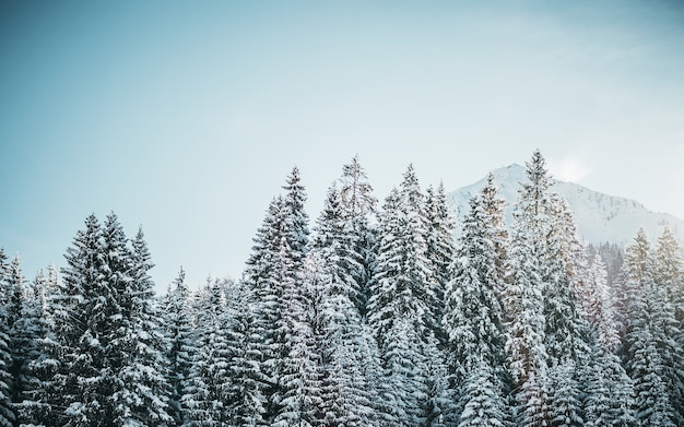 Beautiful shot of snowy pine trees with mountain and a clear sky Free Photo