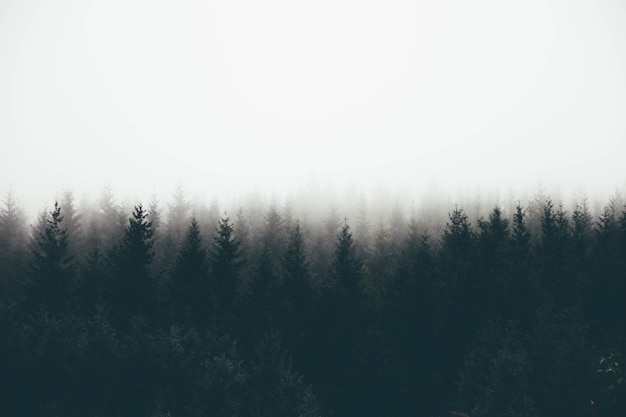 Beautiful shot of a thick forest in fog with pine trees and white space for text Free Photo