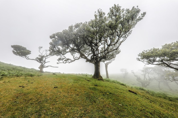 Beautiful shot of trees growing in the hills of fanal in madeira on a foggy day Free Photo