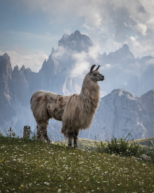 Beautiful shot of a white llama on the grass field with mountains in the background Free Photo