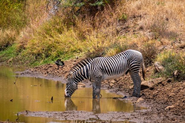 Bello colpo di un'acqua potabile della zebra da uno stagno catturato nel kenya, nairobi, samburu Foto Gratuite