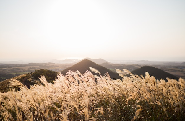 Beautiful silver grass or miscanthus sinensis of a jeju island at korea autumn. Premium Photo