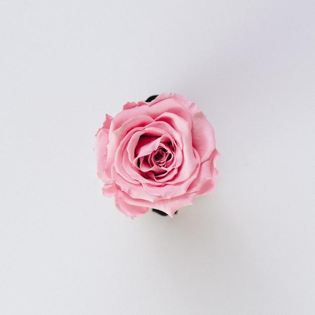 Beautiful single isolated pink rose on white Free Photo