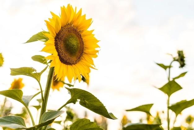 Beautiful single sunflower close up Free Photo