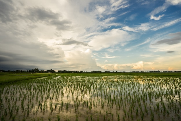 Beautiful sky sunset behind rice field. Premium Photo