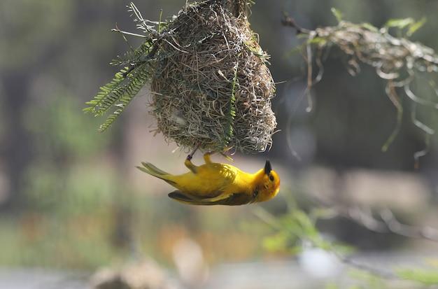Beautiful small yellow bird under its nest Free Photo