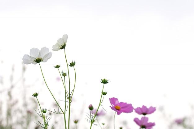 コピースペースを持つ美しいソフトセレクティブフォーカスピンクと白のコスモスの花のフィールド Premium写真