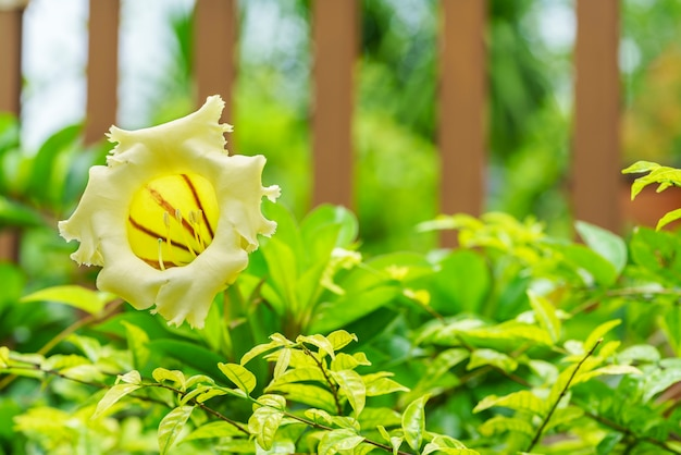 Beautiful solandra grandiflora is large bell shaped golden yellow beautiful solandra grandiflora is large bell shaped golden yellow flower in the garden premium photo mightylinksfo