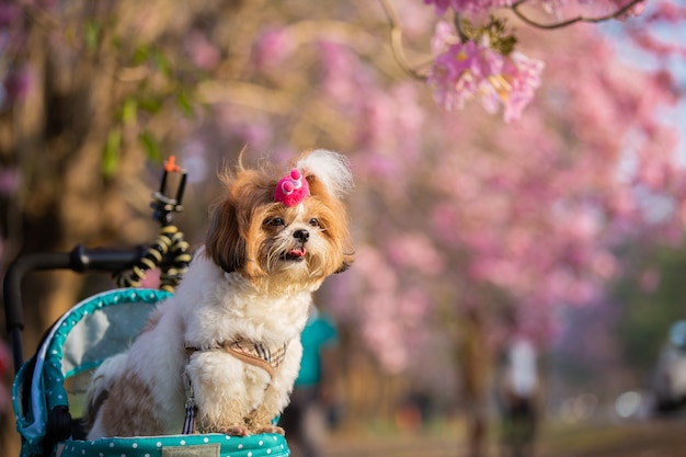 Beautiful spring portrait of shih tzu dog in the blossoming flower pink park. Free Photo