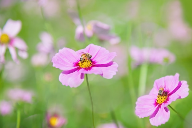 Beautiful spring purple cosmos flowers in green garden background Free Photo