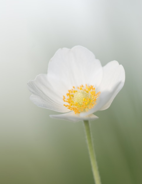Beautiful spring white flower on a meadow Premium Photo