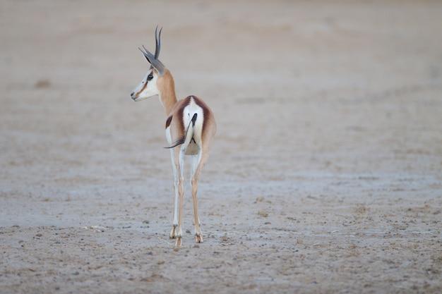 Bella antilope saltante catturata da dietro in mezzo al deserto Foto Gratuite