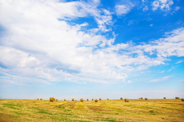 Beautiful summer wheat field with lying round bales Premium Photo