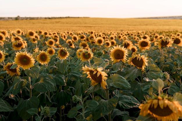 Beautiful sunflower field landscape Free Photo