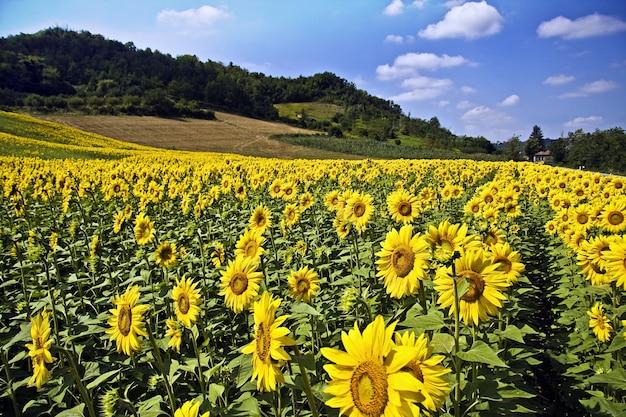 Bellissimo campo di girasoli circondato da alberi e colline sotto la luce del sole e un cielo blu Foto Gratuite