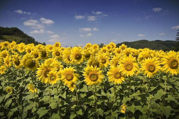 낮에는 햇빛과 푸른 하늘 아래 아름다운 해바라기 밭 무료 사진
