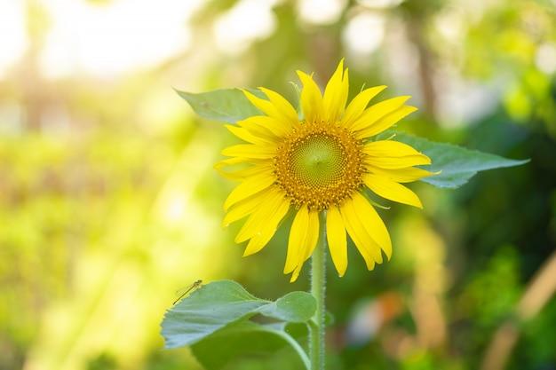 Beautiful sunflowers in the garden. Premium Photo