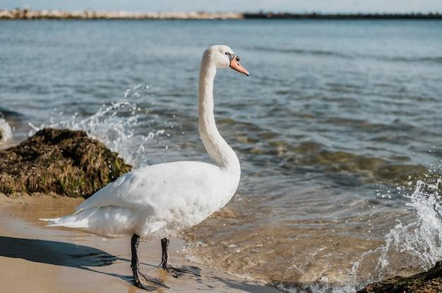 Красивый лебедь на берегу Бесплатные Фотографии