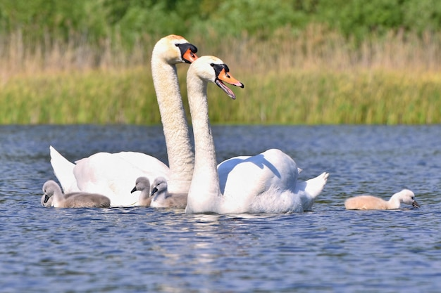 Beautiful swan with cubs. family at the pond. Free Photo