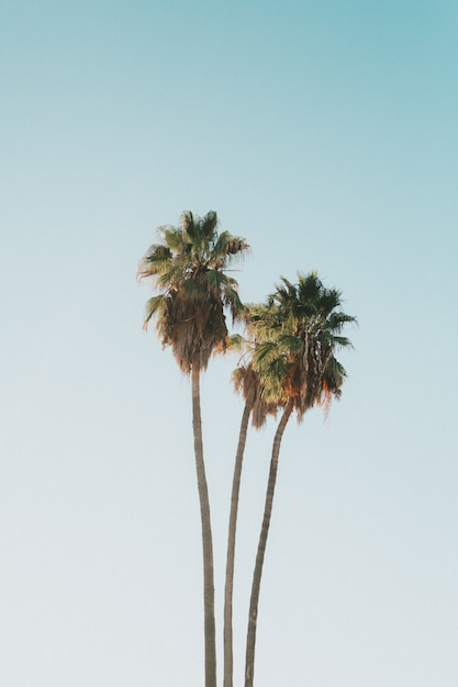 Beautiful tall exotic coconut palm trees Free Photo