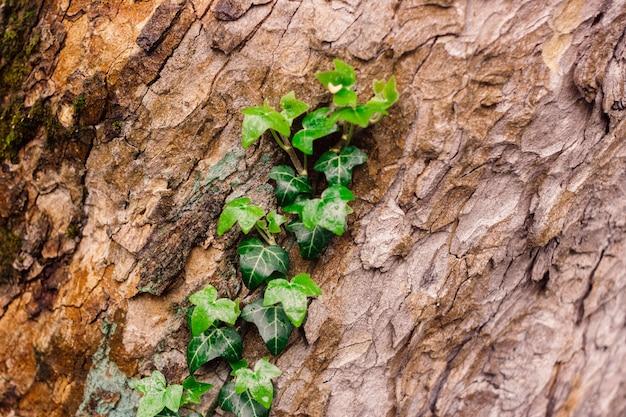 Beautiful textured tree bark with green fresh ivy Premium Photo