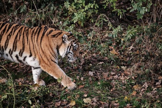 Красивый тигр гуляет по земле с опавшими листьями Бесплатные Фотографии