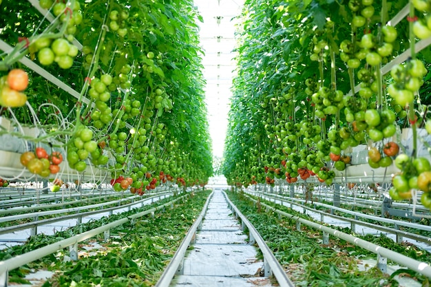 Beautiful tomatoes plants grown in greenhouse Premium Photo