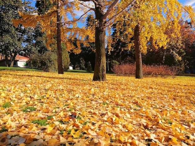 Bellissimi alberi con foglie gialle in autunno a madrid, spagna Foto Gratuite