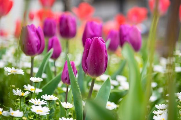 Beautiful tulips field and sunlight in summer Premium Photo