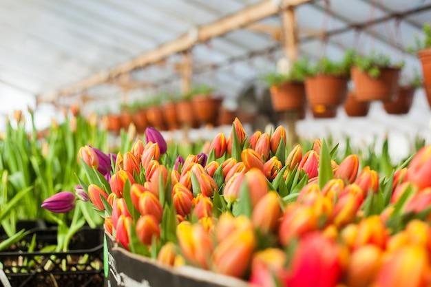 Beautiful tulips grown in a greenhouse Premium Photo