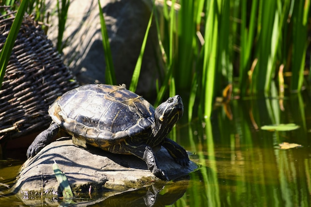 A beautiful turtle on a stone wild in nature by the pond. (trachemys scripta elegans) Free Photo