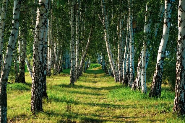 Beautiful view of the birch grove in summer. Premium Photo