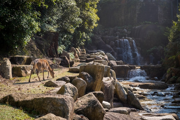 Beautiful view of a deer by the waterfall and the stones captured in miyajima island, japan Free Photo