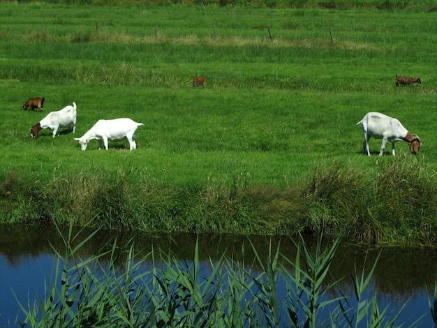 Bella vista di cinque capre di fattoria che pascolano sull'erba in un campo vicino a un canale nei paesi bassi Foto Gratuite