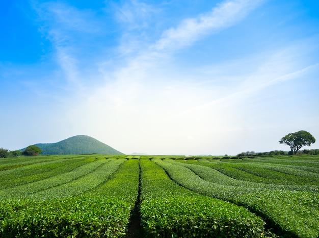 Beautiful view of green tea field with sky at jeju - south korea Premium Photo