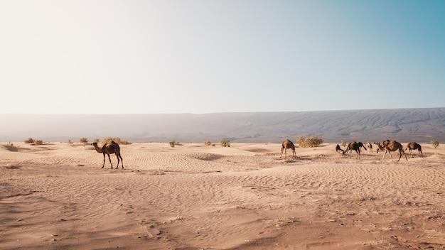 モロッコで日光の下でキャプチャされた砂漠のラクダの美しい景色 無料写真