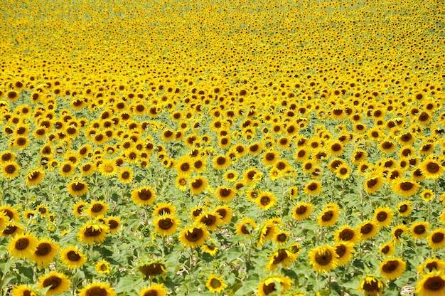 晴れた日にひまわり畑に生えているひまわりの美しい景色 無料写真