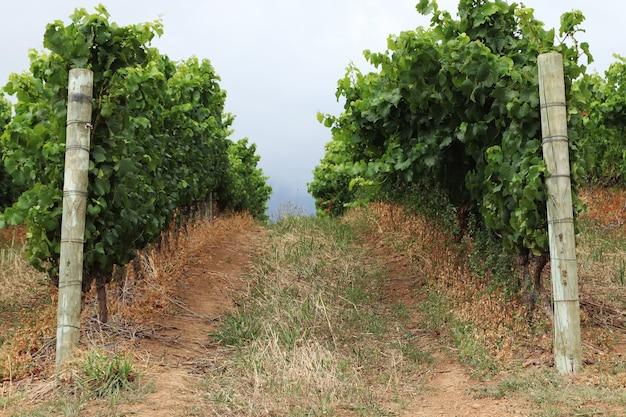 Прекрасный вид на виноградные лозы в винограднике, снятый в пасмурную погоду. Бесплатные Фотографии