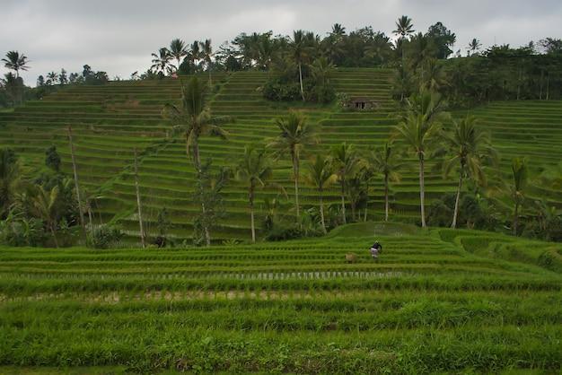 Прекрасный вид на рисовые поля на бали, индонезия Бесплатные Фотографии