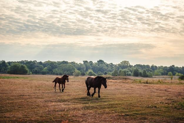 曇り空の下のフィールドで実行されている2つの黒い馬の美しい景色 無料写真