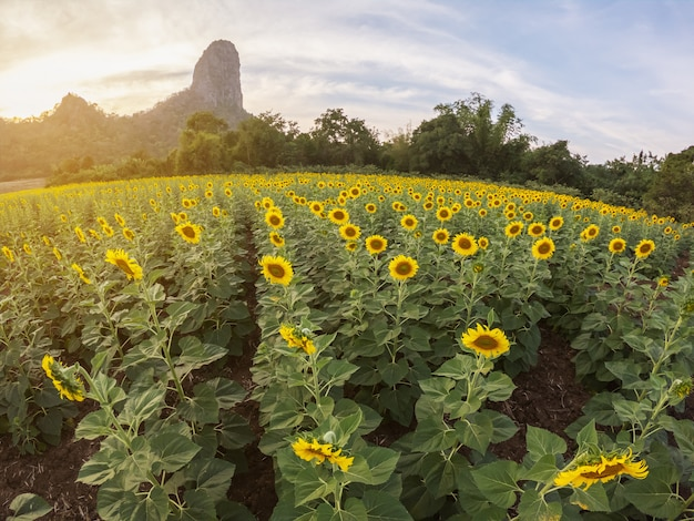 Beautiful view of sunflower field with mountain background on sunset Premium Photo