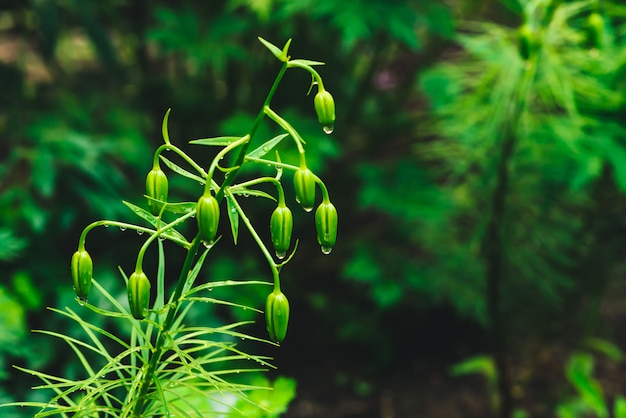 Beautiful vivid green buds of martagon hybrids with dew drops close-up. Premium Photo