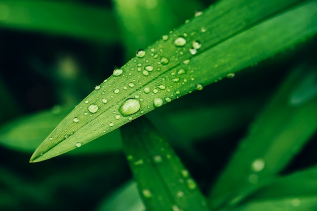 Beautiful vivid shiny green grass with dew drops close-up with copy space. Premium Photo