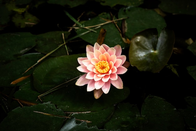 Beautiful water lily with blurred background Free Photo