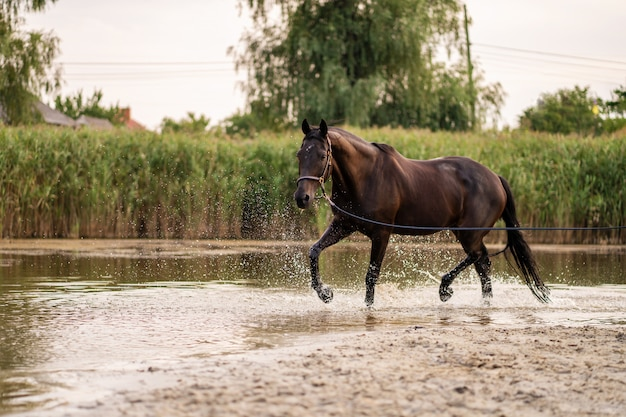 Beautiful well groomed dark horse for a walk by the lake, a horse runs on water, strength and beauty Premium Photo