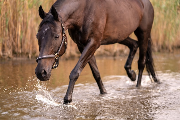 Beautiful well-groomed dark horse for a walk by the lake. a horse runs on water. strength and beauty Premium Photo