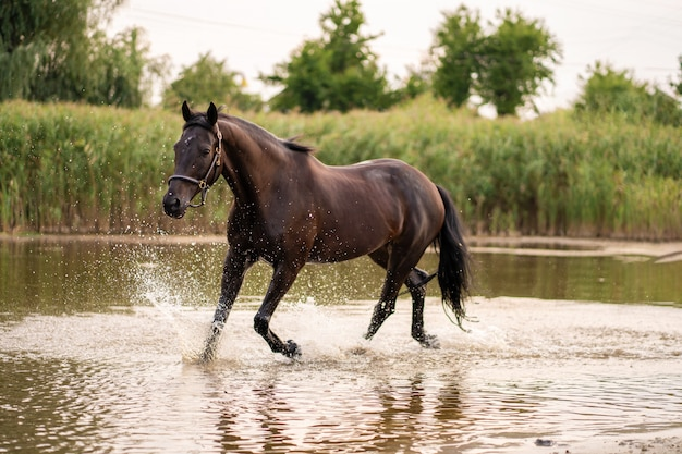 Beautiful well groomed dark horse for a walk by the lake, Premium Photo