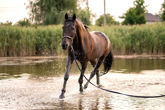 Beautiful well-groomed dark horse for a walk by the lake Premium Photo
